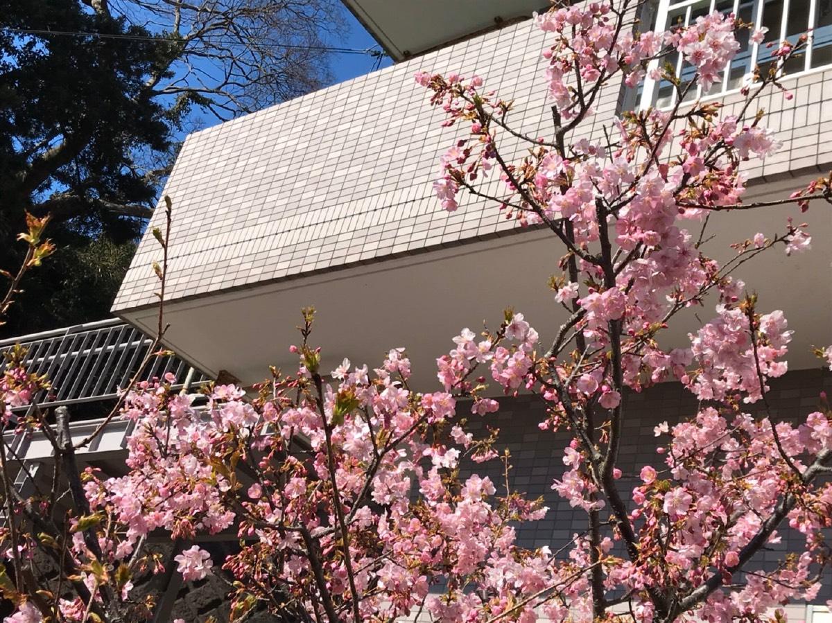 神奈川 河津 桜